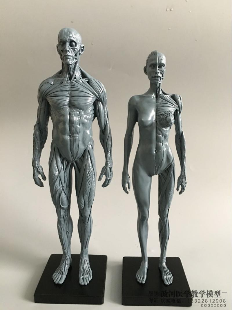 30 cm Künstlerische Menschen Körper Bewegungsapparates Anatomie ...