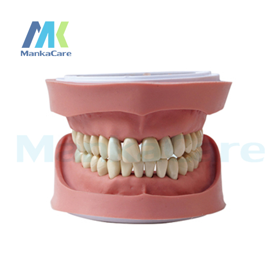 Manka Care - Standard K Study Model/28 pcs Tooth/Soft Gum/Without screw Oral Model Teeth Tooth Model 1 pcs dental standard teeth model teach study