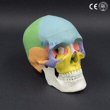 생활 크기 컬러 헤드 모델, 자연 인간, 두개골, 성인 머리, 의료 해부학 19x15x21cm
