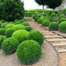 Juniper Balls Bonsai Tree Bonsai Outdoor Plant for Home Garden Absorb Harmful Air 100 PCS in High Quality  Home Garden
