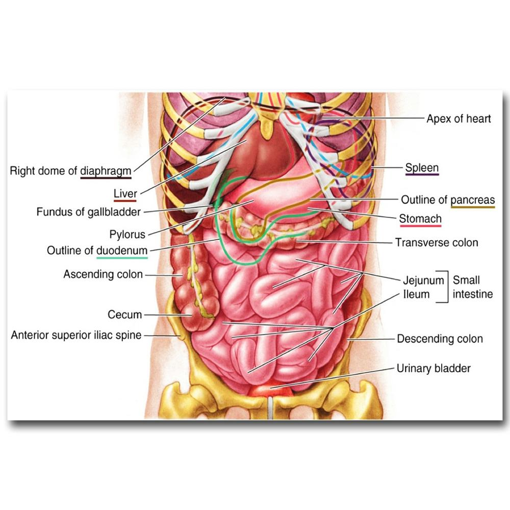 Anatomía Humana estómago sistema arte seda cartel impresión 24x36 ...