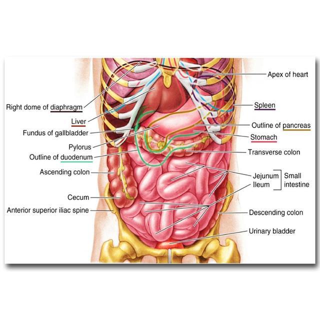 Menschlichen Anatomie Magen System Art Silk Tuch Plakat druck 24x36 ...