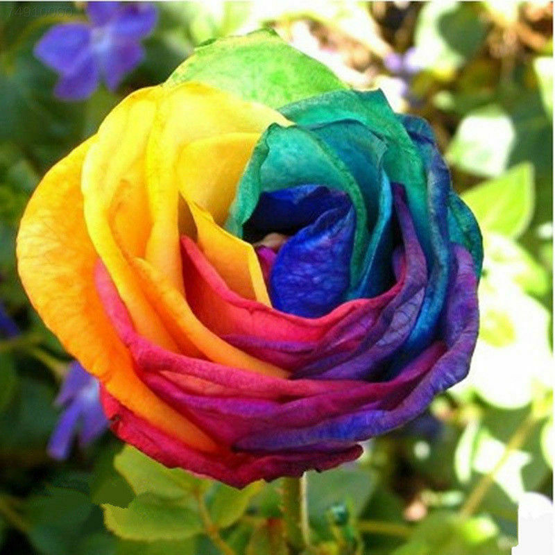 2019 Rainbow Rose Bonsai In Stock Flowers Seeds Outdoor Living Plants Garden Decoration 100 Pcs Cheap