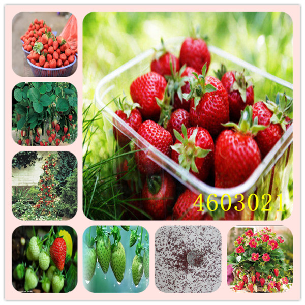 100Pcs Giant Strawberry plants Rare Big Diy plant bonsai Fragaria Fruit bonsai For Home Garden flower Plants Cherry Berry sement