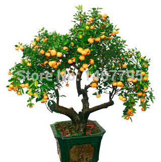 100 pieces/bag, bonsai fruit trees planted seeds, evergreen trees kumquat seeds, orange seeds