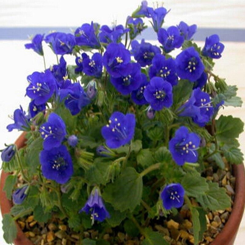 10pcs Bag Phacelia Campanularia Seeds Cobalt Blue Desert Bluebells Southern California Zhong Honoka Flower