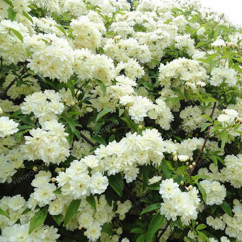 Çift Murraya Paniculata Turuncu Bonsai Jessamine Yaprak Dökmeyen Bitki 20 Bonsai Satinwood Lakeview Yasemin Beyaz Kokulu Çiçekler