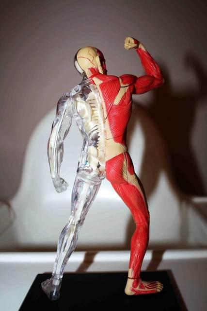 Tienda Online 4D maestro cerebro humano cráneo mano anatomía ...