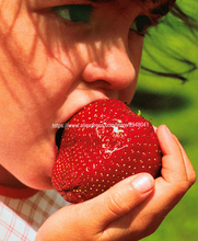 цена на Giant Strawberries  Organic Fruit Tree Bonsai Fruit Plant ,Can Be Eaten! 100 pcs F011