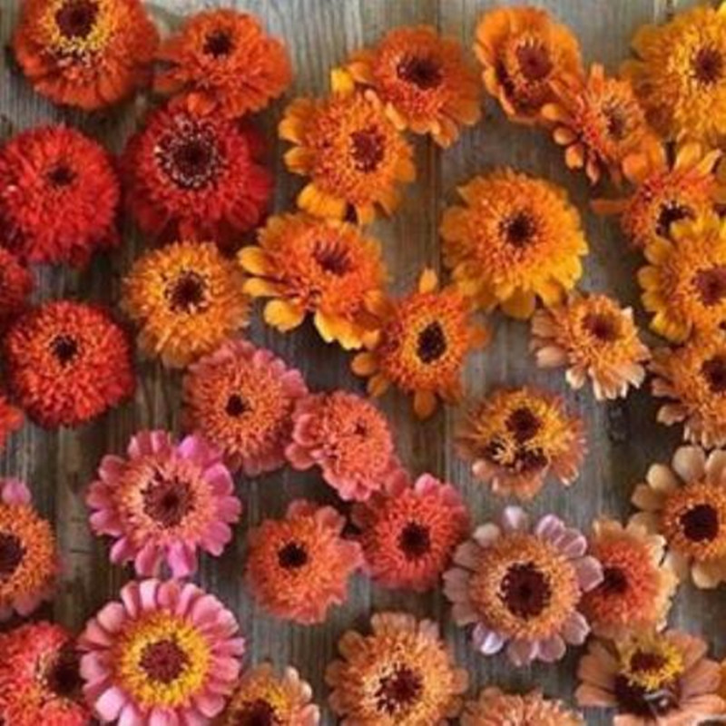 100 seeds/pack Zinnia elegans Scabiosa Mix Color Small Flower Zinnia on