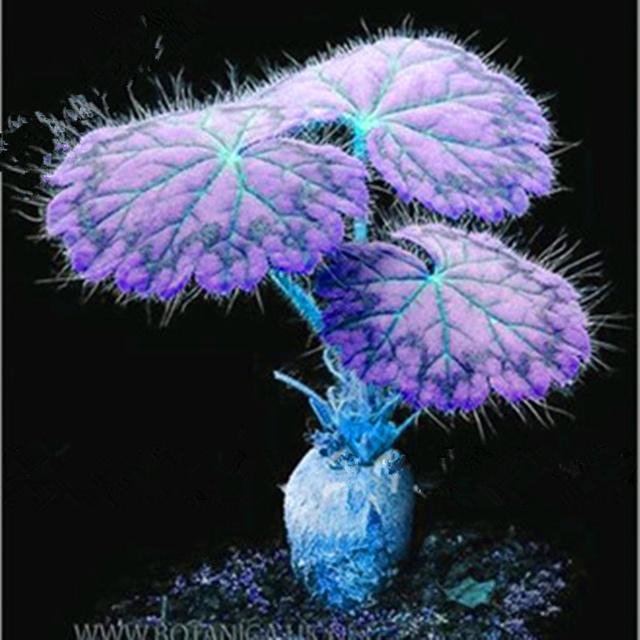 Dwarf Geranium Seed, Pelargonium Peltatum, 20pcs/pack