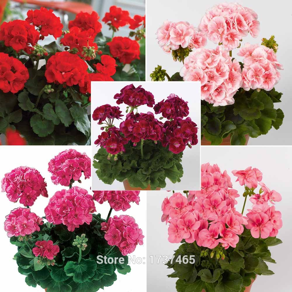 Geranium Pelargonium Hortorum Seeds Plants Flower Fresh 10pcs//lot