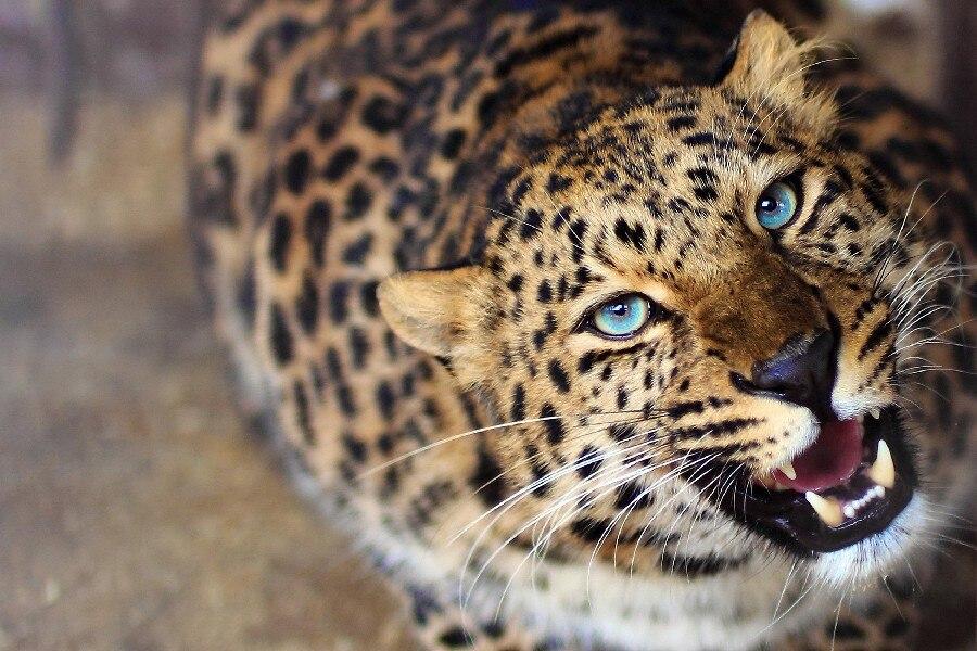 DIY rahmen Leopard Cheetah Blauen Augen Wilde Tier Poster Stoff Silk ...