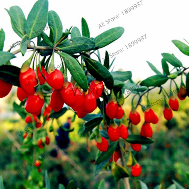 100pcs/bag Black Goji Berry Wolfberry Fruit Bonsai for Home Garden Plant,High nutrition sweet Naturally organic fruit Plantas