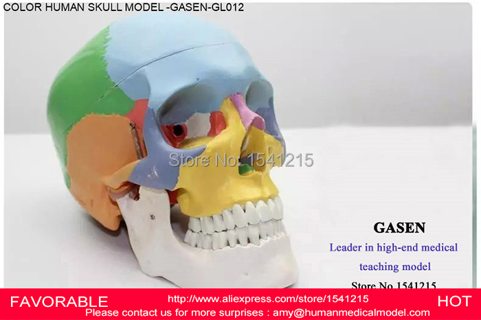ANATOMICAL MEDICAL HUMAN MODEL SKULL SIMULATION MODEL DENTISTRY HEAD OF ORTHOPAEDICS MODEL STOMATOLOGY SKULL MODEL-GASEN-GL012 mini skull human anatomical anatomy head medical model human anatomical skull model model of the medical skull painting model