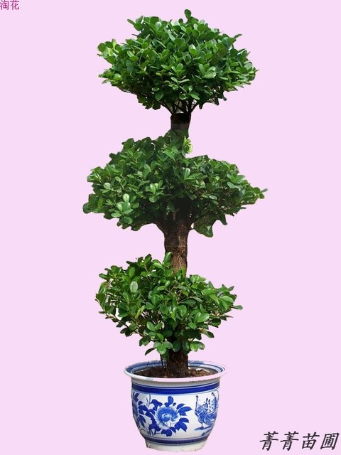 Large foliage bonsai plants indoor large plants money tree ...