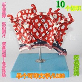 human model Alveolar amplification model Alveolar capillaries Lung anatomy models PVC free shipping