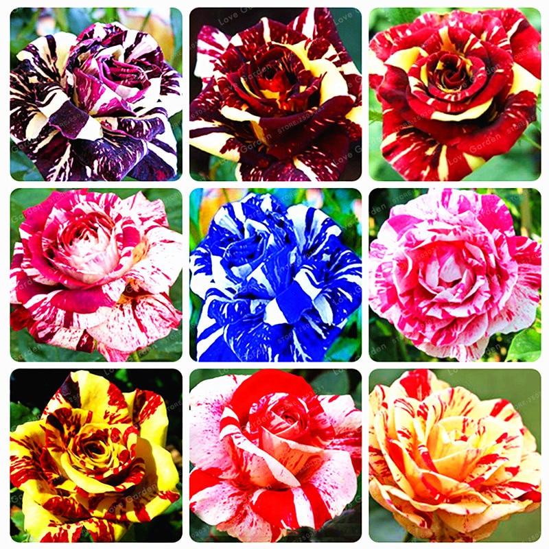 Pack x6 Salvia /'amistad/' enchufe de jardín perenne Plantas Nueva Variedad