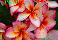 Plumeria Plants Rooted 7 15 Inch Frangipani Flower Cymbidium Bonsai Plumeria Rubra Plants No138 Log Gee