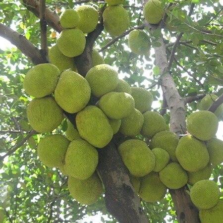 Oraganic Fresh Jack Fruit Seeds Tropical Worlds Largest Tropical Fruit seed