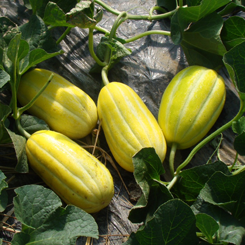 Sale Top Fashion Summer Sementes Potted Fruits And Vegetables Honey Melon Seeds Fruit Garden Planted Plants 10Seeds