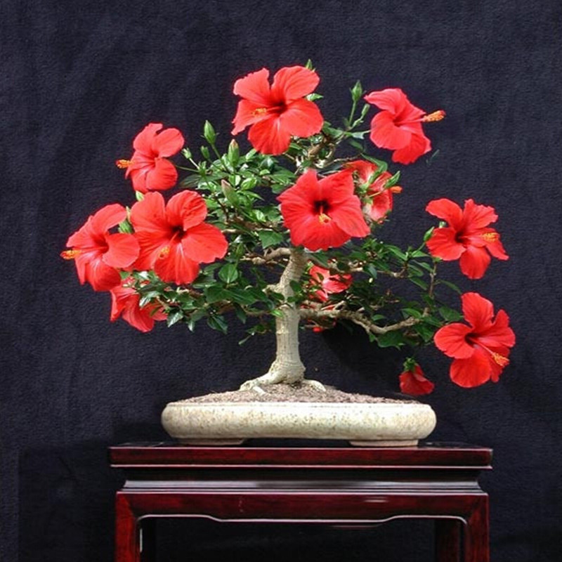 Compare Prices on Hibiscus Mix- Online Shopping/Buy Low Price ...