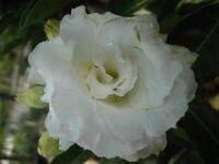 100 Genuine WHITE ROSE Adenium Obesum Seeds 100 SEEDS Bonsai Desert Rose Flower Plant Seeds