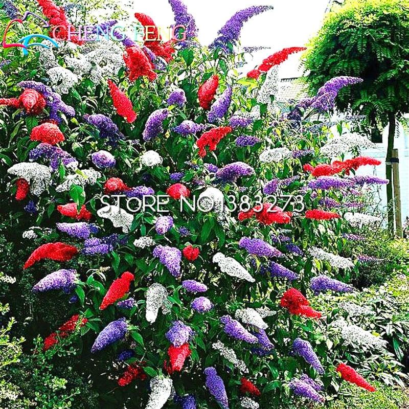 100seeds A Bag Buddleja Seeds Flower Garden Decoration