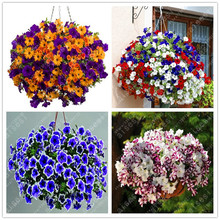 100pcs/ Morning Glory bonsai Rare Petunia plant Bonsai Flower Plant for Home Garden Easy to Grow