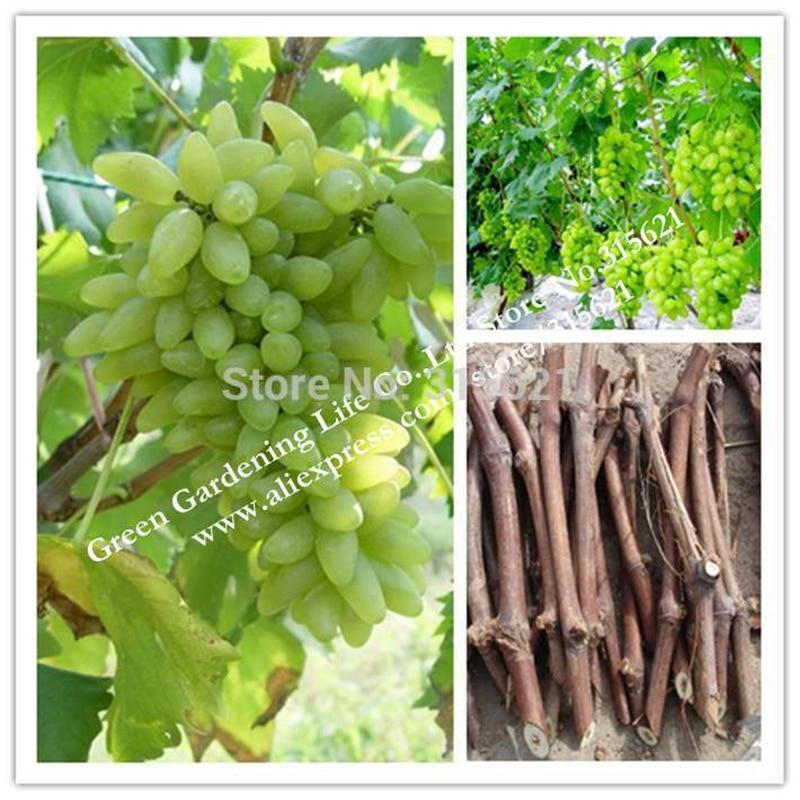 5pcs Cuttings Of Grape Green Grapes Goldfinger Grape Cu