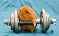 Humor Funny Art Animals Dumbbells Gyms Working Out Guinea Pigs Poster Home Decor Wall Sticker 4