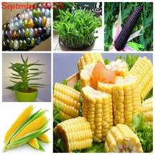30Sweet Rainbow Corn Bonsai Colorful Corn Grain Cereals High-Quality Bonsai Vegetables For Home Garden Easy To Grow Organic Corn(China)