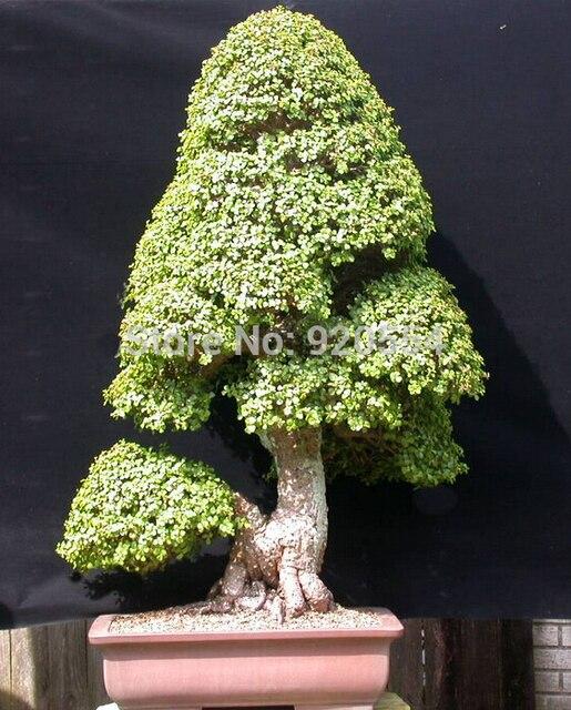 4pcs/lot Africa Baobab Tree (Adansonia digitata) seed bonsai plant for DIY  home