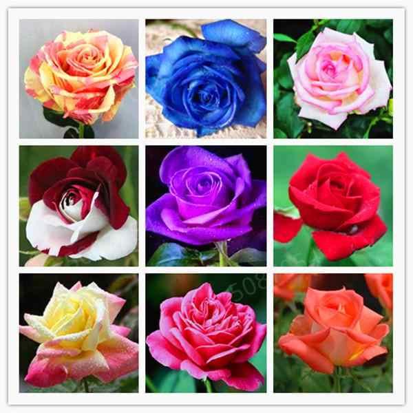 200 個混合カラフルなバラの花の盆栽家庭菜園レア花植物レインボーローズフローレス美しいローズ盆栽