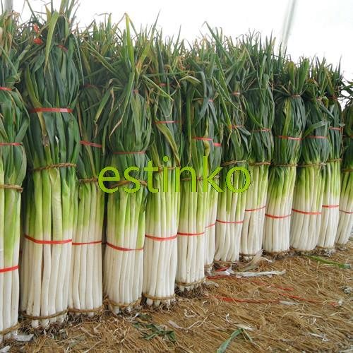 Shangdong Zhangqiu Giant Chinese Green Onion Seeds Vegetable Seeds Home Garden Bonsai Plant Chinese Vegetable Seed Free Shipping