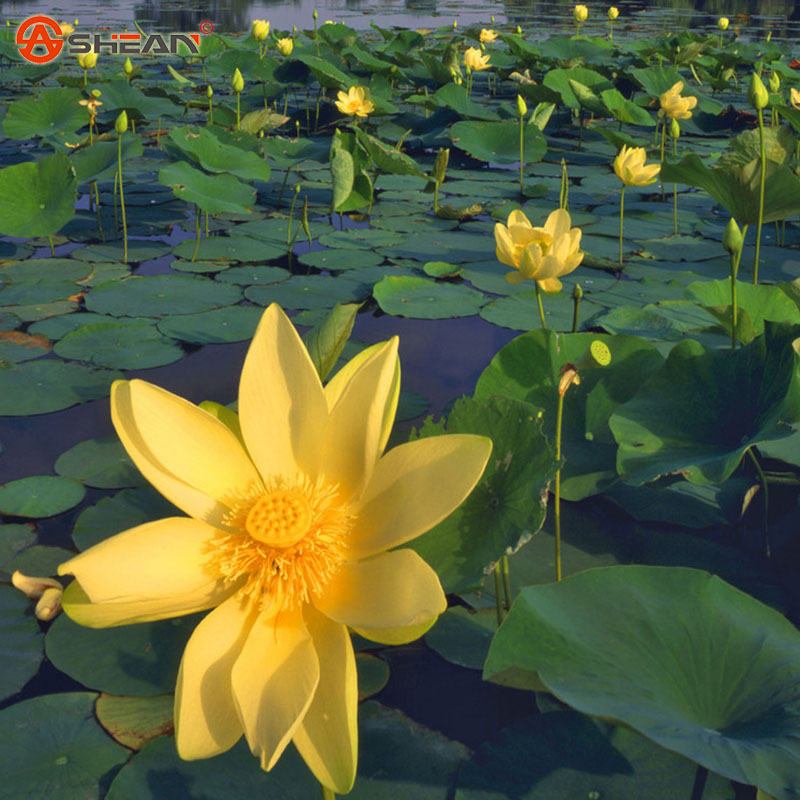 Popular aquatic plants lotus buy cheap aquatic plants for Cheap pond plants