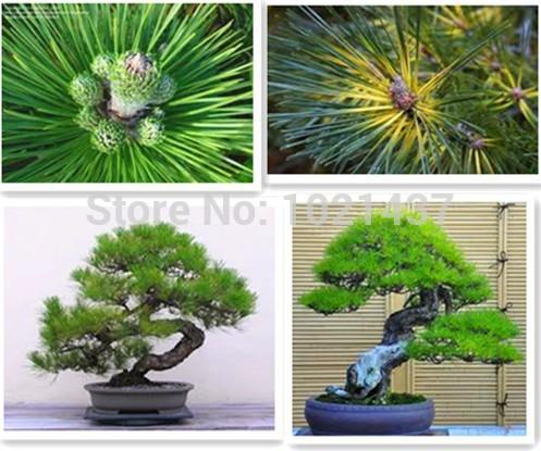 unidslote podocarpus semillas del rbol seed yaccatree rbol rbol de hoja