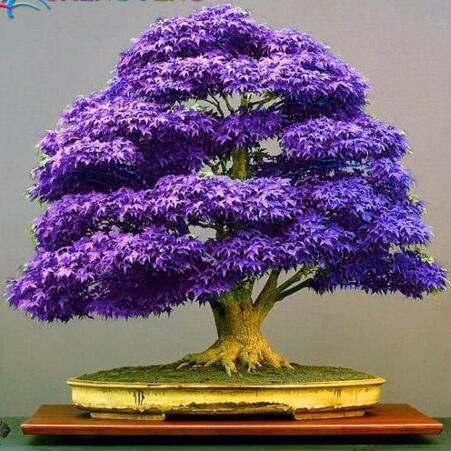 office bonsai. purple bonsai maple tree seeds mini for indoor plant can put on office desk