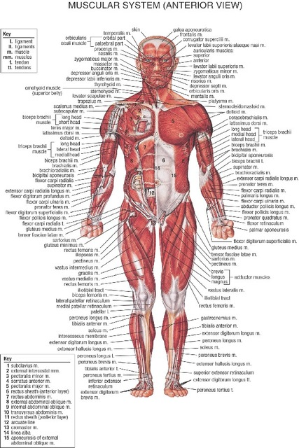 Diy Frame Muscular System Front Labels For Study Posters Wiring Diagram