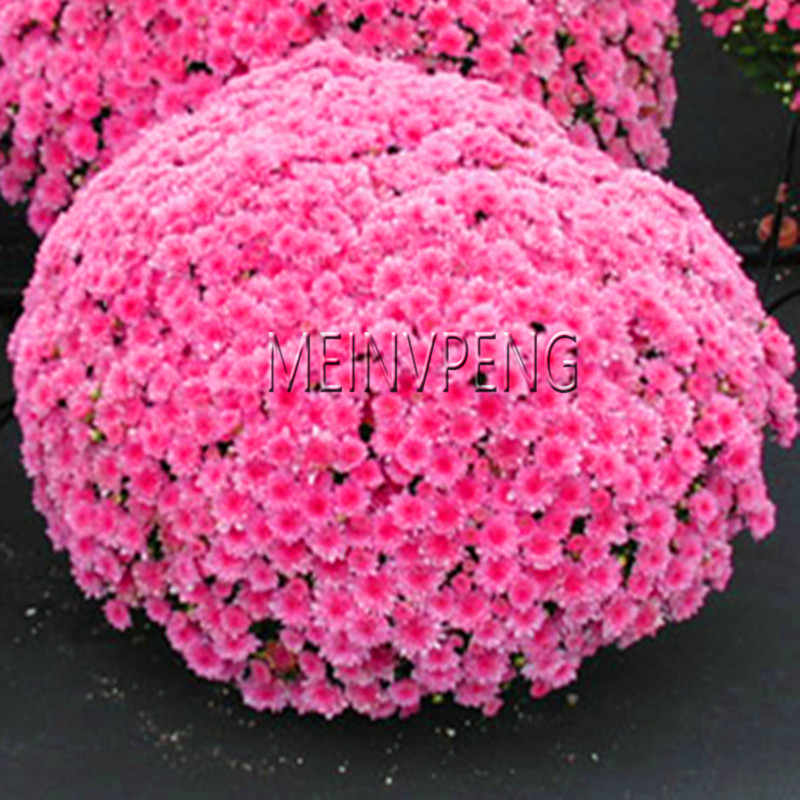 Genuíno! 100 Cobertura Do Solo bonsai Crisântemo pçs/saco Fácil para Crescer planta flor para Casa Jardim Bonsai Plantas, # C8V6XZ