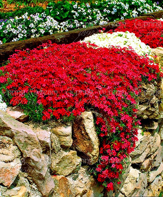 100/Rock CressBright Red Rock Cress AUBRIETA FLOWER SEEDS / Evergreen Perennial / Deer Resistant