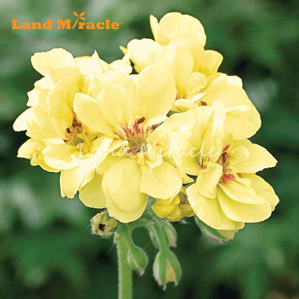 Land Miracle 5pcs Rare Geranium Yellow Flower Seeds Fragrant