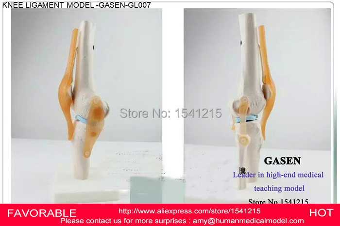 ANATOMICAL  MEDICAL HUMAN BODY FUNCTIONAL KNEE JOINT LIGAMENT MODEL KNEE JOINT ORTHOPEDICS TEACHING KNEE JOINT -GASEN-GL007 human anatomical body integral organ distribution skin medical teach model school hospital hi q
