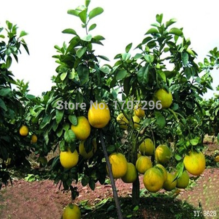 dwarf fruit trees home depot exotic fruits