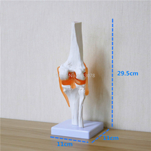 Humano, esqueleto joelheira anatomia modelos modelo esqueleto com ligamentos modelo comum ciências médicas material de ensino