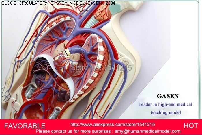 Blood Circulationsimulation Human Anatomical Blood Circulatory