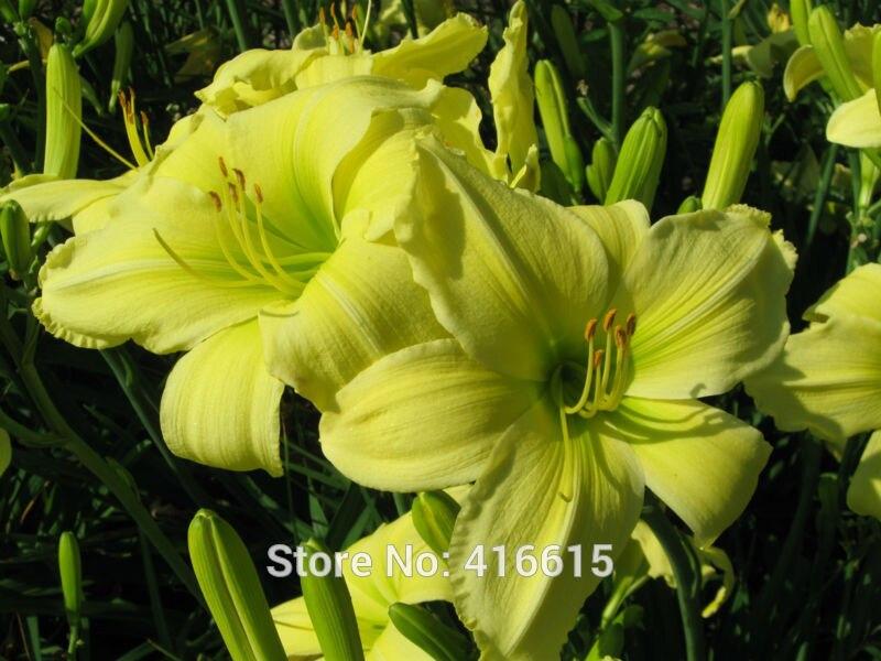 Day Lily Daylily Seeds Hemerocallis Lemon Vista Seeds H