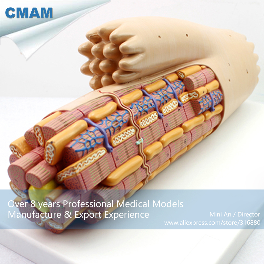 CMAM-HEART17 Magnified Smooth Muscle Cardiac Muscle Fiber Model, Medical Science Educational Teaching Anatomical Models joshua boucher regulation of vascular smooth muscle phenotype by notch signaling