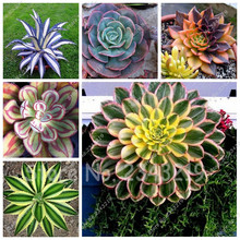 10pcs/bag Aloe Cacti Agave Seeds, Rare Succulent Cactus Bonsai Flower Seeds Agave-americana Potted Agave Plants for Home Garden