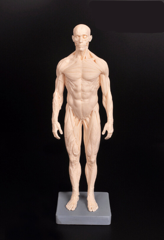 dental lab ps4 dentist 30cm pu human skeleton anatomical model, Skeleton